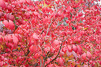 Burning Bush Euonymus alata in autumn color and berries