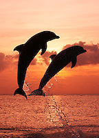 qk0989-Dv. Bottlenose Dolphins (Tursiops truncatus). Honduras, Caribbean Sea..Photo Copyright © Brandon Cole. All rights reserved worldwide.  www.brandoncole.com..This photo is NOT free. It is NOT in the public domain. This photo is a Copyrighted Work, registered with the US Copyright Office. .Rights to reproduction of photograph granted only upon payment in full of agreed upon licensing fee. Any use of this photo prior to such payment is an infringement of copyright and punishable by fines up to  $150,000 USD...Brandon Cole.MARINE PHOTOGRAPHY.http://www.brandoncole.com.email: brandoncole@msn.com.4917 N. Boeing Rd..Spokane Valley, WA  99206  USA.tel: 509-535-3489