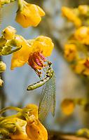 Florfliege, green lacewing, egg, eggs, Chrysopidae, Florfliegen, Goldaugen, lacewings
