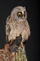 Waldohreule, Ästling frisst einen Maulwurf, Beute, Küken, Jungtier, Jungeule, Waldohr-Eule, Asio otus, long-eared owl, brancher, branchling, fledgling, poult, Le Hibou moyen-duc