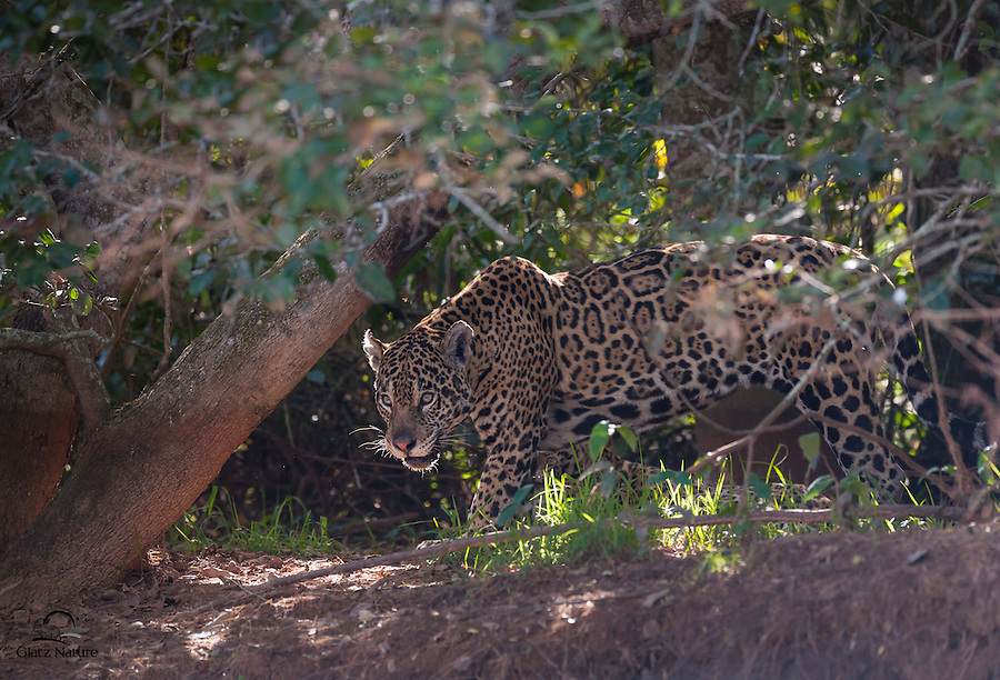 "Female Jaguar (Panthera onça), with two cubs nearby, emerges from heavy cover to drink from the Cuiabà River.  This cat earned its nickname, the ""Shadow Cat."""