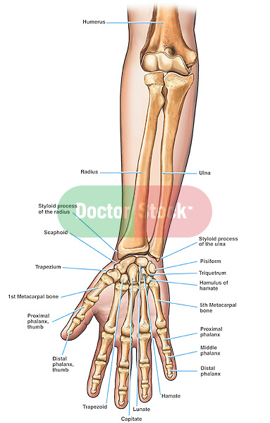 Anatomy of the Forearm and Hand Bones | Doctor Stock