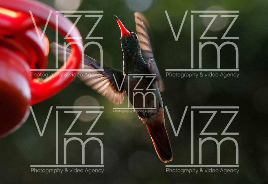 MANIZALES -COLOMBIA, 19-10-2016. Se calcula que en Manizales hay unas 150 especies de colibríes, tanto residentes como migratorias. Por este motivo, la capital caldense se ha convertido en lugar de visita de los amantes del avistamiento de aves . En la foto Amazilia colirufo sobre volando cerca al abrevadero en el Eco Hotel Tinamú cerca a Manizales Photo:VizzorImage / Santiago Osorio  / Contribuidor