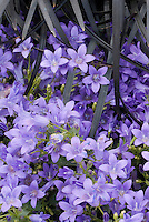 Campanula poscharskyana Catharina and Ophiopogon plansicapus 'Nigrescens' black mondo ornamental grass