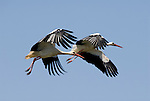 Close -up of 2 White Storks in flight, Andalucia, Spain