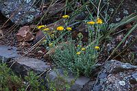 Eriophyllum confertiflorum - Golden Yarrow flowering in California native plant garden, Regional Parks Botanic Garden, Berkeley, California