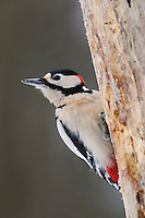 Great Spotted Woodpecker (Dendrocopos major), male perched, Zug, Switzerland, December 2007