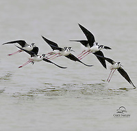 Black-necked Stilts in Flight, Aransas National Wildlife Refuge, Texas