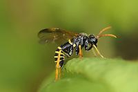 Figwort Sawfly - Tenthredo scrophulariae