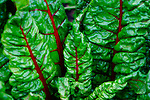 Chard is pretty mild and has a sweetness to it.  The stalks are crunchier and can be replace celery in some recipes.