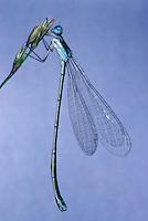 Zwerglibelle, Zwerg-Libelle, Weibchen, Nehalennia speciosa, pygmy damselfly, sedgeling, sedgling