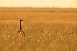 Greater Rhea (Rhea americana) in grassland, Ibera Provincial Reserve, Ibera Wetlands, Argentina