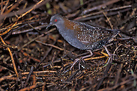 Black Rail - Laterallus jamaicensis