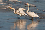 Trumpeter swans stands on Flat Creek on the National Elk Refuge in Wyoming.