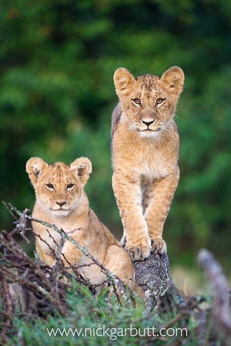 African Lion cubs (Panthera leo)  8-10 month old. Ol Kinyei Conservancy, Masai Mara Game Reserve, Kenya.