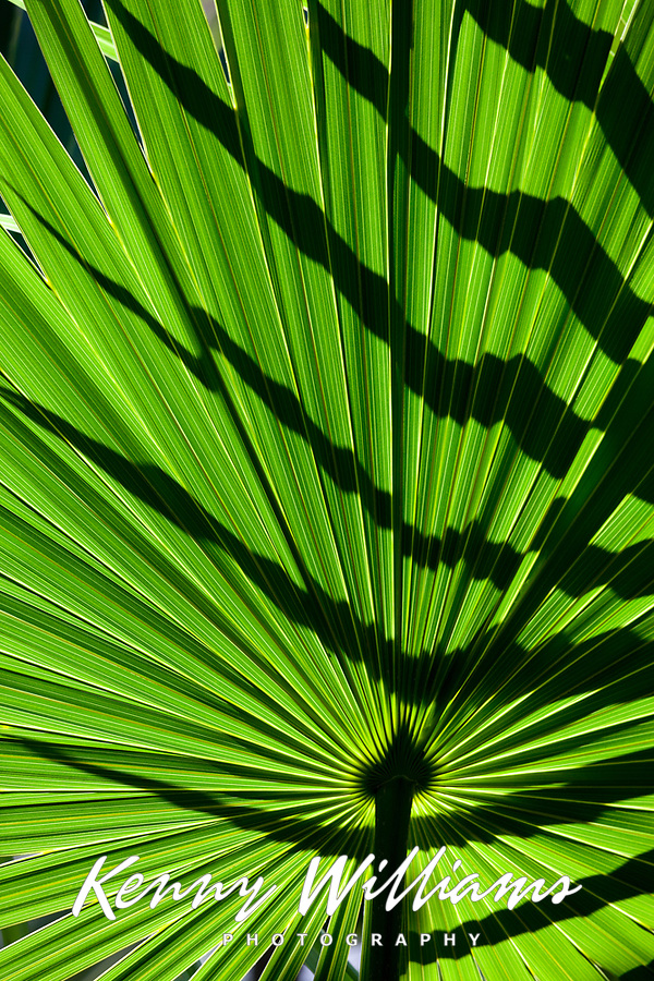 Everglades Fan Palm, Leaf Detail, Everglades National Park, Florida, USA.