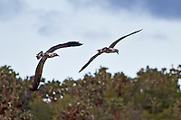 In tandem, two Blue-footed Boobys with their very long wings make a sweep showing off their tail feahter against a light blue sky in preparation for landing on a Galapagos Island.