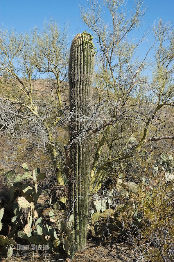 "Saguaro, Carnegiea gigantea, growing in shelter of another cactus and shrub. Saguaros often grow under ""nurse plants"" where shade and moisture provide better conditions for germination.  Saguaro National Park, Arizona"