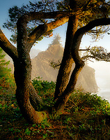 Shore Pine trees and coastline. Thunder cove Samuel H. Boardman State Park (Scenic Corridor),Oregon