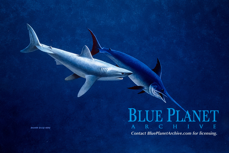 shortfin mako shark, Isurus oxyrinchus, attacking swordfish or broadbill, Xiphias gladius, illustration