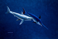 shortfin mako shark, Isurus oxyrinchus, attacking swordfish or broadbill, Xiphias gladius, illustration