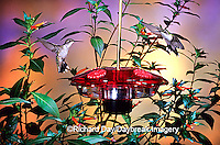 01162-092.10 Ruby-throated Hummingbirds (Archilochus colubris) on Droll Yankees Little Flyer-2 Hummingbird feeder Shelby Co.  IL