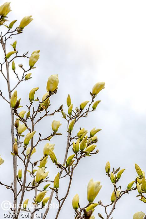 Magnolia blossoms on the Rose Fitzgerald Kennedy Greenway, Boston, Massachusetts, USA