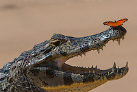 Caiman (Caiman yacare) with butterfly. The Pantanal wet lands, Brazil.