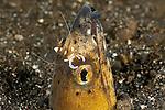 Black finned snake eel (Ophichthus melanochir) with commensal shrimp(Pterapogon kaudemi).