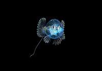 A 1 inch larval Pancake Batfish, Halieutichthys aculeatus, photographed during a Blackwater drift dive in open ocean at 50 feet with the bottom 650 feet below.  Palm Beach, Florida, U.S.A.  Atlantic Ocean