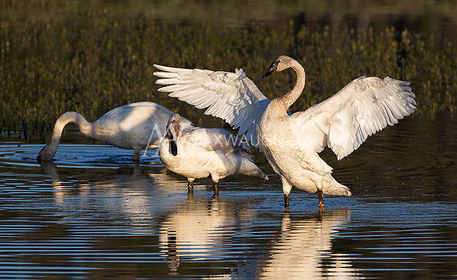 Trumpeter swans are threatened in the park, and are generally an uncommon sight.