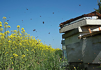 Bees working in the oilseed rape with beehive hives..Lancashire.