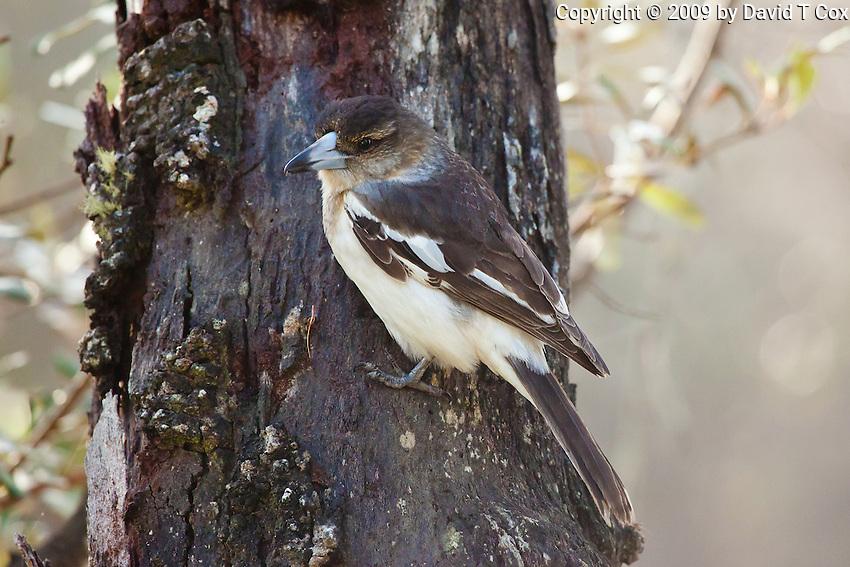 Pied Butcherbird immature, Yuragir NP, NSW, Australia