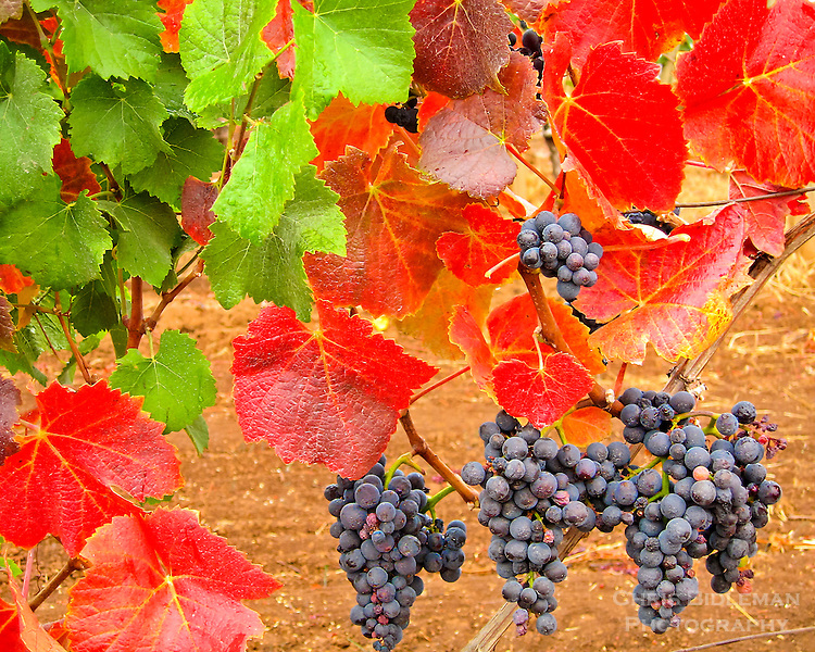 Amazing fall colors that pinot noir grapevines can take on with red and green leaves like Christmas many grape clusters in the vineyard.