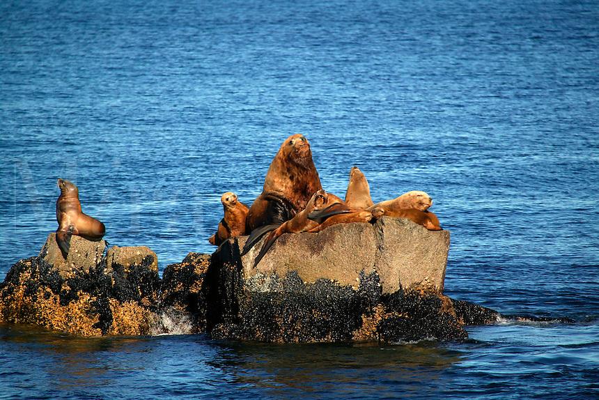 Northern Steller Sea lions, Chiswell Islands, part of the Alaska Maritime National Wildlife Refuge, Kenai Fjords National Park, Alaska