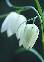 Kievitsbloem (Frittillaria meleagris)