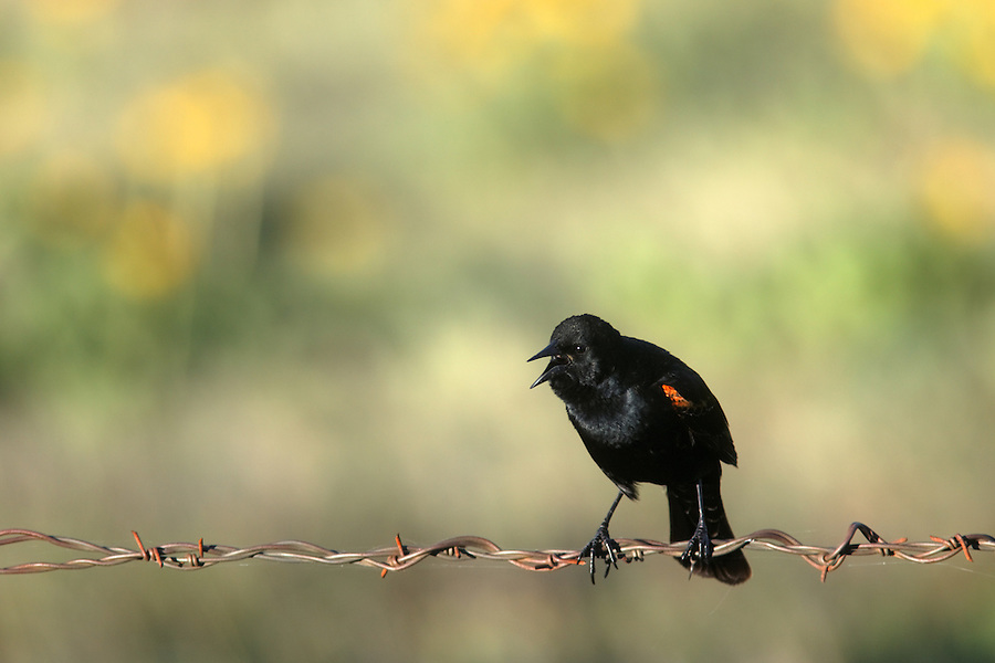 Male red-winged blackbird on barbed wire fence, Columbia Hills State Park, Klickitat County, Washington, USA