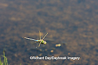 06361-007.03 Common Green Darner (Anax junius) male in flight over wetland, Marion Co. IL