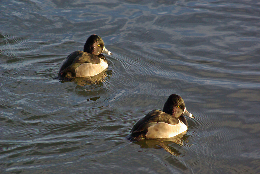 Ring-necked duck drakes, Magness Lake near Heber Springs, Arkansas.