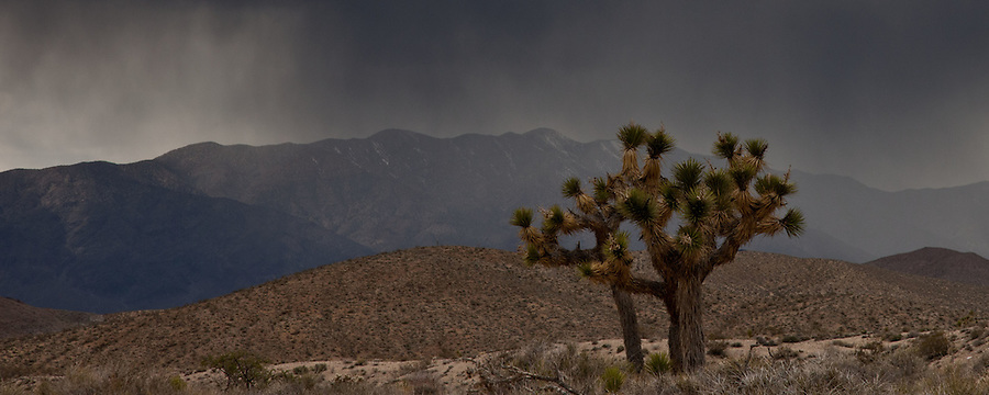 Joshua Tree under snow storm in Death Valley NP, CA