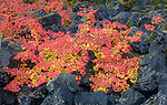 Willamette National Forest, OR: Autumn vine maple (Acer circinatum) nestled in the basalt boulders of the lava flows near McKenzie River National Recreation Trail
