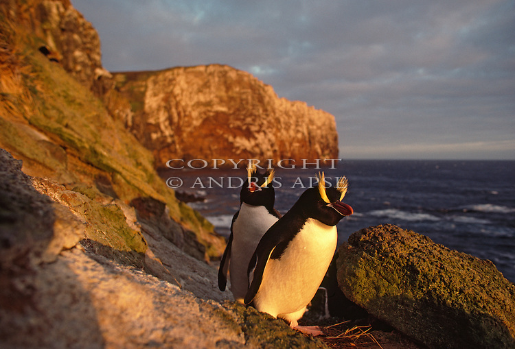 Erect Crested Penguins. Antipodes Islands. New Zealand Sub Antarctic Islands.
