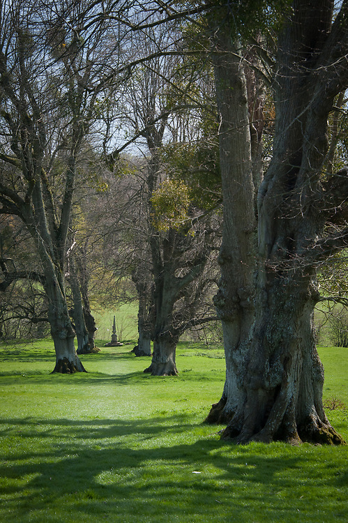 Ancient lime trees (Tilia x europaea) in the estate parkland, Hinton Ampner, Hampshire, late April. Some of the trees are thought to be two hundred years old.