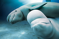 Monodontidae Delphinapterus leucas, Beluga whale c)