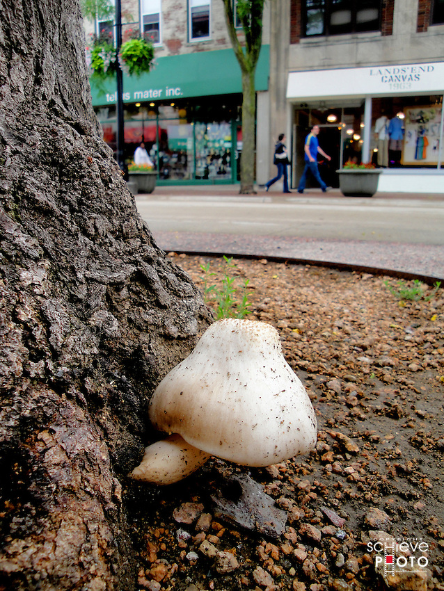A mushroom grows on a tree on State Street in Madison, Wisconsin.