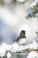 01569-014.03 Dark-eyed Junco (Junco hyemalis) on Blue Atlas Cedar (Cedrus atlantica 'Glauca') in winter, Marion Co.  IL