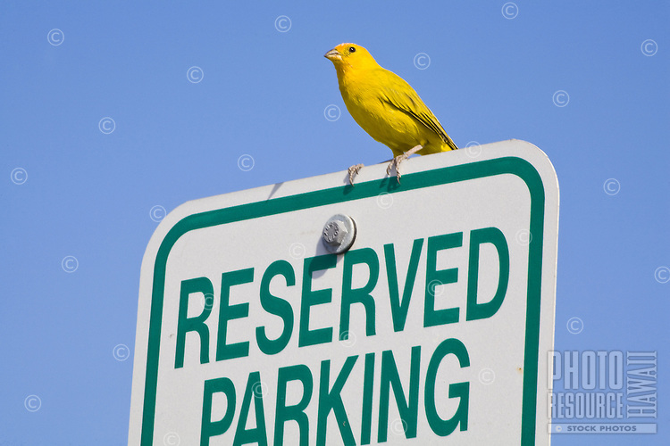 Yellow bird perched on a Reserved Parking sign against a blue sky
