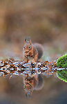 A red squirrel holds a hazelnut in its mouth as its image is reflected mirror-like in a river.  The rodent is captured on camera as it forages for food for the approaching winter.<br /> <br /> Squirrels hide nuts after finding them to make sure they have enough to eat during the colder months.  Photographer Aalt van Tongeren, 73, captured the stunning shot in the Dutch village of Hulshorst, just on the edge of Veluwe — the nation's largest nature reserve.  SEE OUR COPY FOR DETAILS.<br /> <br /> Please byline: Aalt van Tongeren/Solent News<br /> <br /> © Aalt van Tongeren/Solent News & Photo Agency<br /> UK +44 (0) 2380 458800