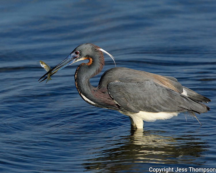 Tri-colored Heron, South Padre Island, TX