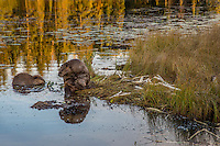 North American Beaver (Castor canadensis) at communal feeding area along edge of pond.  Northern Rockies,  Fall (just before sundown).  Beaver often have a regular (usually several) feeding area within their home territory where they will bring small limbs to feed on.   Note: the larger, grooming  beaver on the right is an adult while the other beaver is a young one born earlier in the year (probably four to five months old).